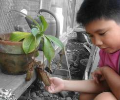 Inspecting his pitcher plant